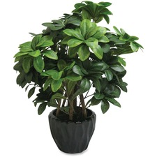 FST 27216 First Base Elementals Pittosporum Tobira Plant FST27216