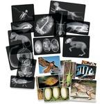 Roylco Animal X-Rays Set r5910