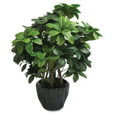 "Pittosporum tobira plant, silk leaves, 5"" pot, green, sold as 1 each"