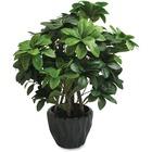 """First Base Elementals Pittosporum Tobira Plant - 16"""" (406.40 mm) Tall - Pittosporum Tobira - Pot - Green, Black - 1 Each"""