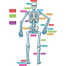 TCR 77241 Teacher Created Res. Human Skeleton Accents TCR77241