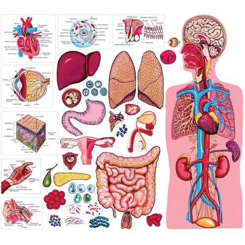Little Folk Visuals Human Body Felt Set - Theme/Subject: Learning - Skill Learning: Visual, Human Body, Anatomy Set